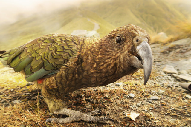 The endangered kea, captured here at the Ben Lomond Track at Queenstown in Fiordland, New Zealand, is the world's only alpine parrot, and one of the most intelligent, if mischievous and destructive birds. (Photo by Murdo Macleod for the Guardian)
