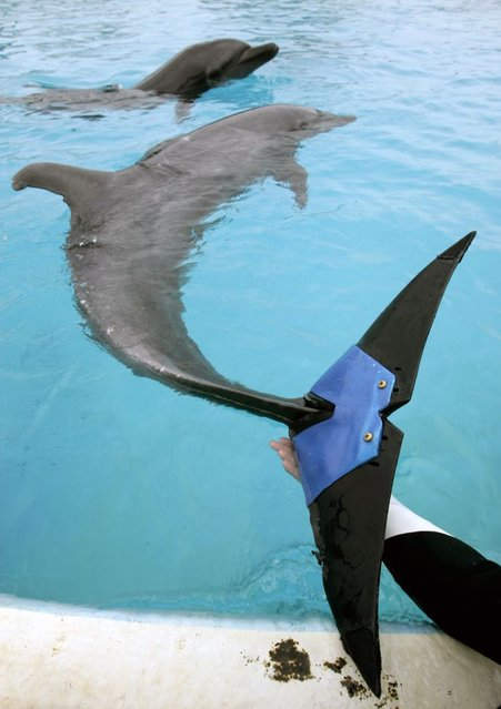"""A keeper holds an artificial tail fluke attached  to female bottlenose dolphin """"Fuji"""", estimated to be 37-years-old, at Okinawa Churaumi Aquarium in Motobu town on the southern Japanese island of Okinawa February 14, 2007. Fuji lost 75 percent of her tail fluke due to an unknown disease in 2002. The dolphin can swim and jump using the artificial tail fluke, which is believed to be the world's first artificial fin for a dolphin, and was developed by veterinarians and Japan's largest tire maker Bridgestone Co., an aquarium official said. (Photo by Issei Kato/Reuters)"""