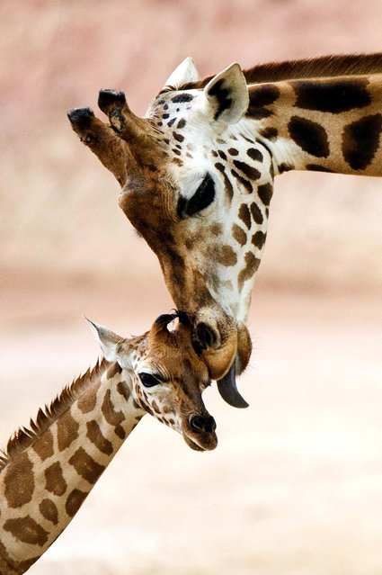 A baby giraffe canoodles with its mother at the outdoor enclosure of the Zoo in Hannover, Germany. (Photo by Sebastian Kahnert/Dpa)