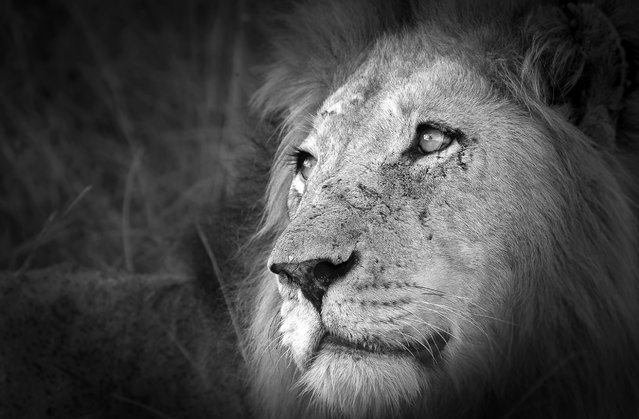 The face of a truly wild male lion can tell a story of a hundred battles and a thousand hunts. To be a male lion means that you live by the sword and die by the sword. Always on the lookout for potential enemies and prey, this male showed a softer side as he looked up at his approaching cub. (Photo by Chris Renshaw)