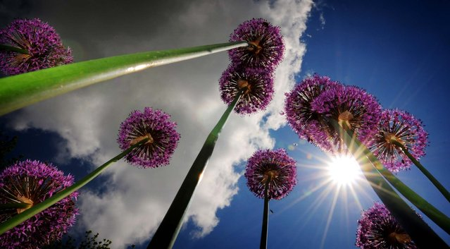Puffs of clouds drift over a group of Allium blooms in Salina, Kansas, on May 16, 2013. (Photo by Tom Dorsey/The Salina Journal)