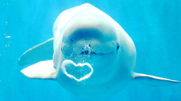 Beluga Whales Blowing Bubbles in Japan (video)