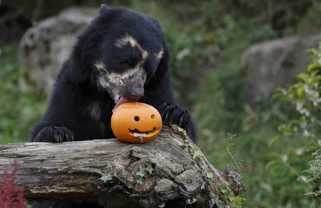 Bernardo the Andean bear licks a carved Halloween pumpkin in his enclosure as part of the Enchantment event at Chester Zoo in Chester, Britain October 24, 2016. (Photo by Phil Noble/Reuters)