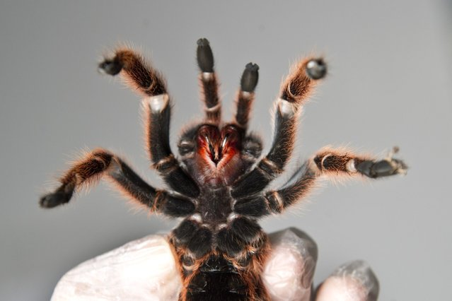 Ventral view of one of the around 5,000 spiders bred at a spider farm in Batuco, some 30 km north of Santiago, on June 26, 2013. (Photo by AFP Photo/Getty Images)