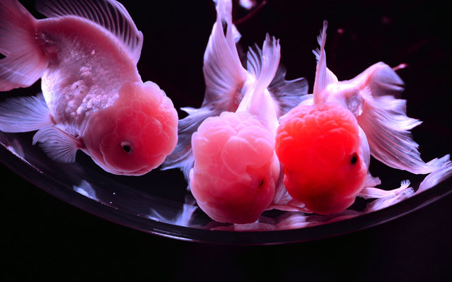 """Goldfish swim in a tank as part of art exhibition """"Art Aquarium"""" during a press preview in Tokyo on July 12, 2012. The exhibition, designed by aquarist Hidetomo Kimura, will begin from July 13 through September 23. (Photo by Yoshikazu Tsuno/AFP Photo)"""