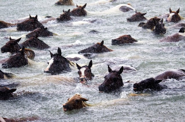 During a storm with heavy rain, wild ponies swim towards the shore in the annual Chincoteague Pony Swim. (Photo by Jay Diem/Eastern Shore News)