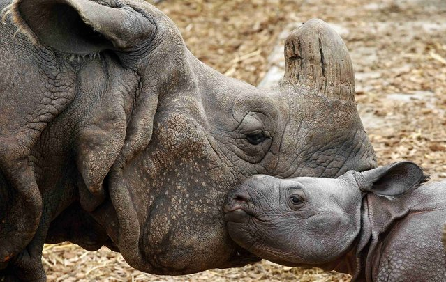 Nine-day old male Indian rhinoceros Jari stands beside his 18-year old mother Quetta in an outdoor enclosure at the zoo in Basel September 18, 2012.  Jari  was born last Monday weighing around 60 kilos.     REUTERS/Arnd Wiegmann