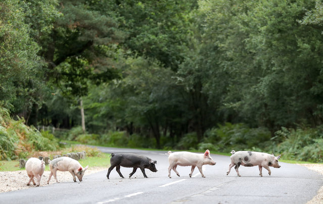 """Domestic pigs roam the roadside near to Burley in Hampshire, on the first day of Pannage, or """"Common of mast"""", where the animals are allowed to wander in the New Forest during a set time in the Autumn to feast on the acorns that have fallen, which in large quantities are dangerous for the ponies and cattle. Picture date: Monday September 10, 2018. This year's pannage season runs from September 11th to November 11th. (Photo by Andrew Matthews/PA Wire)"""