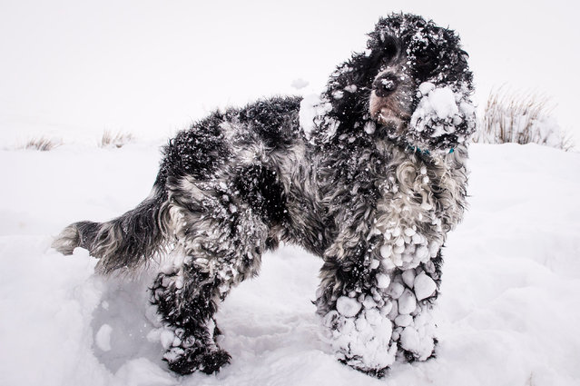 A dog covered in snow on Pen y Fan, England on January 12, 2016. (Photo by Ben Birchall/PA Wire)