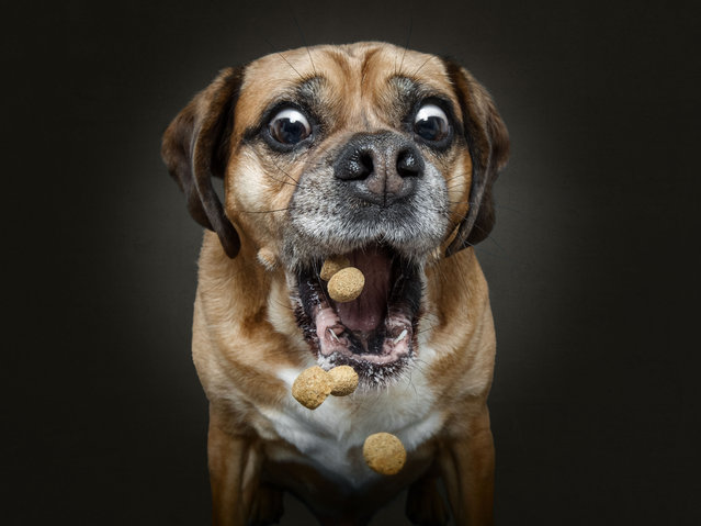Eddie the Puggle. (Photo by Christian Vieler/Caters News Agency))