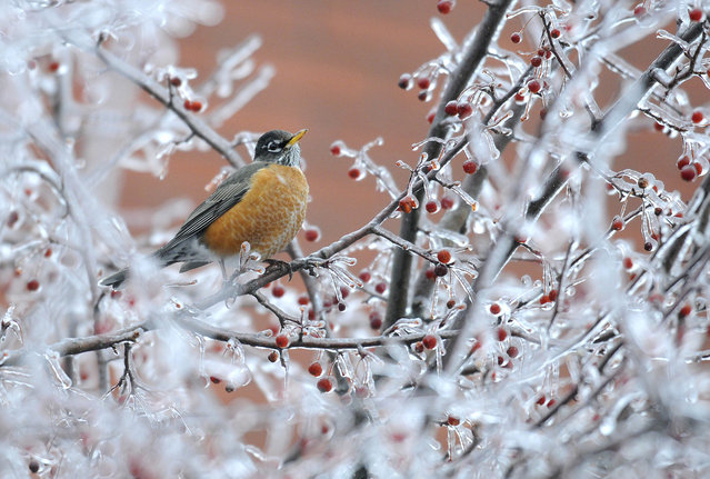 An American Robin searches for food on a frozen tree in Augusta, Maine, Sunday, December 22, 2013. More than a quarter inch of ice coated tree branches and wires in the Augusta and Gardiner areas at noon.  Eric Schwibs, a meteorologist with the National Weather Service in Gray, said those areas could end up with about a half inch of ice accumulating by storm's end tomorrow. (Photo by Andy Molloy/AP Photo/Kennebec Journal)