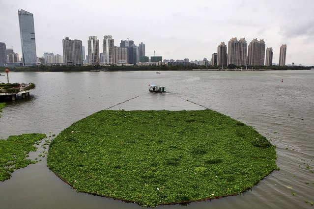 A boat pulls away water lettuce as it cleans up the surface of Xizhi River, in Huizhou, Guangdong province April 8, 2015. Picture taken April 8, 2015. (Photo by Reuters/Stringer)