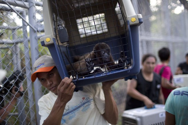 In this April 18, 2015 photo, an Animal Defenders International worker shoulders a monkey in a pet carrier at the Amazon Animal Orphanage in the Pilpintuwasi rainforest, near Iquitos, Peru. More than three dozen mammals rescued from Peruvian circuses and animal traffickers, including five different species of monkeys, were airlifted from Lima to their new home at the jungle sanctuary. (Photo by Rodrigo Abd/AP Photo)