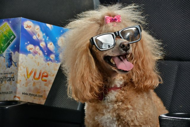 Barking mad film fanatics treated their pets to the first ever dog-friendly cinema event. Twenty dogs donned 3D glasses for a unique one-off screening of Mr Peabody & Sherman – a film about a super-intelligent talking dog. The fascinated hounds even indulged in popcorn boxes filled with doggy treats and lapped up bowls of water at Vue Entertainment in Acton, London. (Photo by Solent News & Photo Agency)