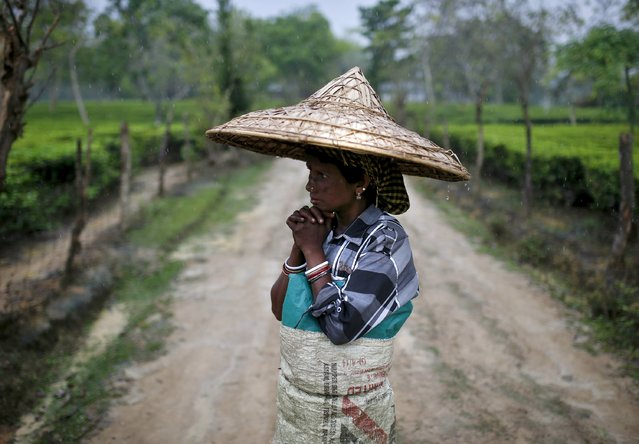A tea garden worker wearing a jappi hat made out of bamboo and palm leaves waits for the rain to stop to resume her work inside Aideobarie Tea Estate in Jorhat in Assam, India, April 21, 2015. (Photo by Ahmad Masood/Reuters)