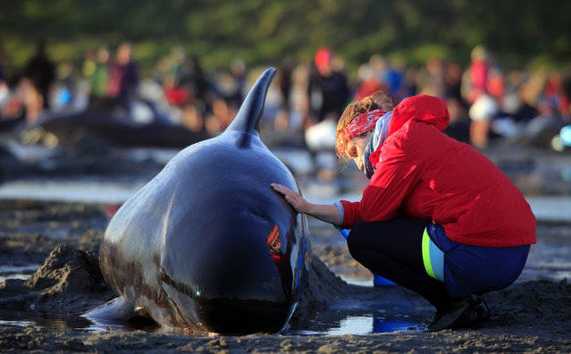 In this Friday, Feb 10, 2017 photo, German visitor Lea Stubbe rubs water on a pilot whale that beached itself at the remote Farewell Spit on the tip of the South Island of New Zealand. Volunteers in New Zealand managed to refloat about 100 surviving pilot whales on Saturday, February 11, 2017 and are hoping they will swim back out to sea after more than 400 of the creatures swam aground at a remote beach. (Photo by Tim Cuff/New Zealand Herald via AP Photo)