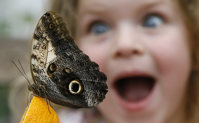 Summer Sharif looks at an Owl butterfly feeding on an orange during a photo call for hundreds of tropical butterflies being released, to launch the Natural History Museum's Sensational Butterflies exhibition in London, Wednesday, March 23, 2016. (Photo by Kirsty Wigglesworth/AP Photo)