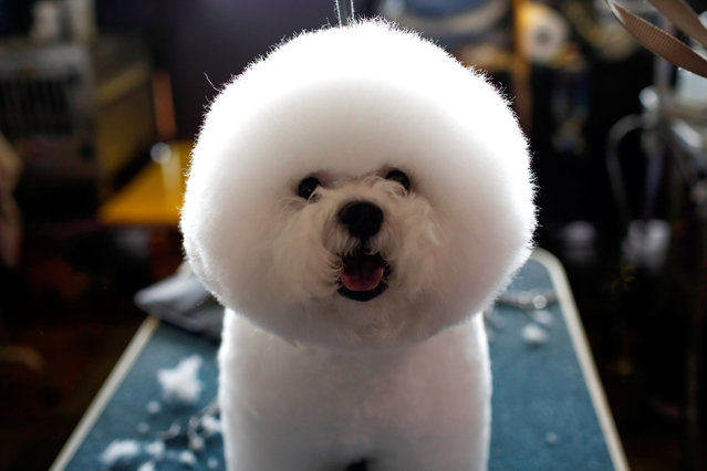 A Bichon Frise stands on a grooming table in the benching area before competition at the 141st Westminster Kennel Club Dog Show in New York City, February 13, 2017. (Photo by Mike Segar/Reuters)