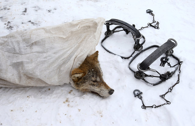 A killed wolf is seen in a bag in the village of Khrapkovo, Belarus February 1, 2017. (Photo by Vasily Fedosenko/Reuters)