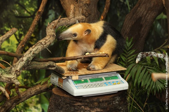 A Southern Tamandua is weighed at ZSL London Zoo