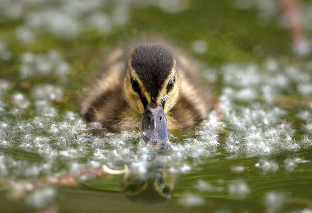 A duckling looks for food swimming in a lake in Bucharest, Romania, Monday, April 29, 2019. (Photo by Vadim Ghirda/AP Photo)