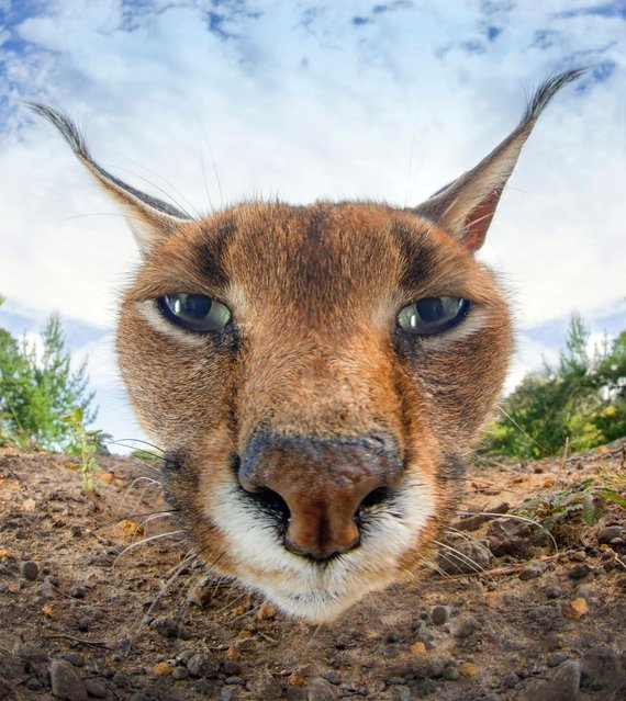 A close up of a caracal lynx's face looking into a camera on January 2014 in Western Cape, South Africa. (Photo by Dale Morris/Barcroft Media)