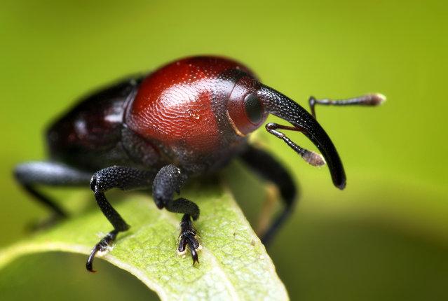 Small Black and Red Weevil (Madarellus undulatus)