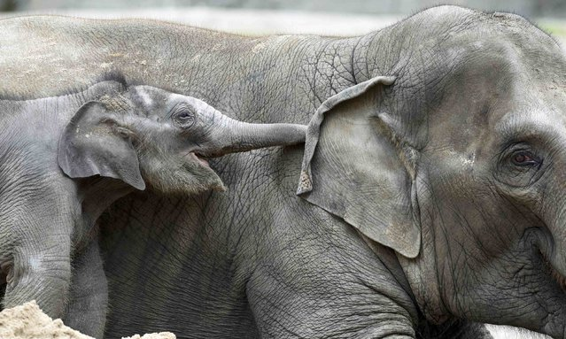 4-week-old elephant Anjuli cuddles with his brother Assam in Hagenbeck Zoo in Hamburg, northern Germany August 12, 2015. (Photo by Fabian Bimmer/Reuters)