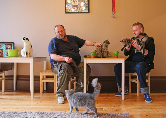Customers drink a coffee as several cats roam at Cat Cafe Melbourne on July 25, 2014 in Melbourne, Australia. Cat Cafe Melbourne is Australias first cat cafe. The cafe has several cats from rescue shelters which live at the premises. Patrons can watch and play with the cats while enjoying a coffee. Cat Cafes are becoming known world wide, the first opening in Taiwan in 1998. (Photo by Scott Barbour/Getty Images)