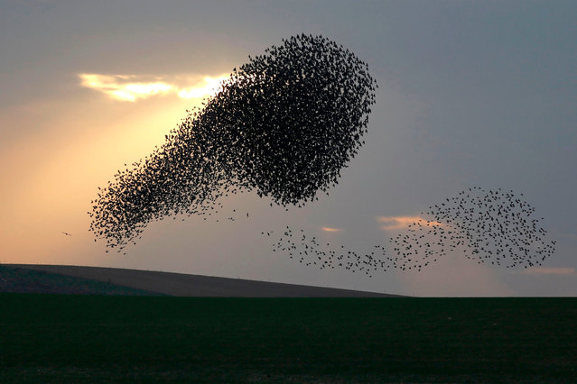 A picture taken on January 08, 2020 shows a murmuration of starlings before landing to roost near the southern Israeli city of Rahat, in the Negev desert. (Photo by Menahem Kahana/AFP Photo)