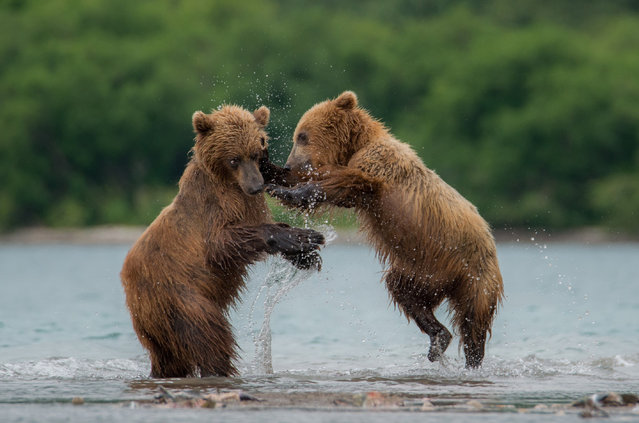 Kamchatka brown bears at Kurile Lake in Kamchatka peninsula's volcanic terrain, Russia on August, 2017. Kamchatka brown bears are generally not dangerous to humans, and only 1% of encounters result in attack. (Photo by Igor Ivanko/Anadolu Agency/Getty Images)