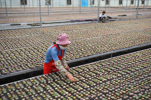 "Employees arrange succulents at an agricultural company in Xiejia Town of Gaoyou City, east China's Jiangsu Province, April 14, 2020. Relying on the resource advantages of local agricultural science and technology park, Xiejia Town adopts the mode of ""company + agricultural worker"" to build a production and leisure tourism base of succulent plants. The annual output value of succulent industry in Xiejia Town reaches nearly 80 million yuan (about 11.35 million U.S. dollars) at present. (Photo by Xinhua News Agency/Rex Features/Shutterstock)"