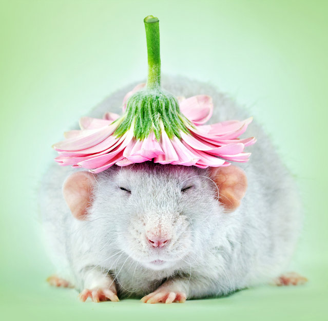 A committed photographer who's made it her mission to remove the stigma attached to the creatures took these adorable rat portraits. (Photo by Diane Ozdamar/Caters News)