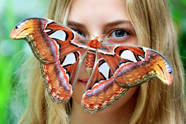 This picture taken on September 16, 2014 shows Attacus atlas butterfly siting on a visitor's face, at the Botanical Garden of Masaryk University in Brno. There are about twenty butterflies that fly freely in the greenhouse among visitors. (Photo by Radek Mica/AFP Photo)