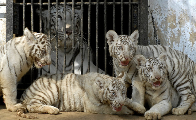 White tigers sit inside their enclosure in a zoological park in Hyderabad January 12, 2007. (Photo by Krishnendu Halder/Reuters)