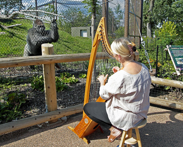 In this August 27, 2014 photo Terri Tacheny plays her harp as one of the gorillas stood nearby outside the Primate House at Como Zoo in in St. Paul, Minn. Tacheny, 57, a zoo volunteer, plays once a month for an appreciative audience that ambles down to their barrier as soon as Tacheny begins setting up her harp. She's been doing it for nearly a decade. (Photo by Elizabeth Flores/AP Photo/The Star Tribune)