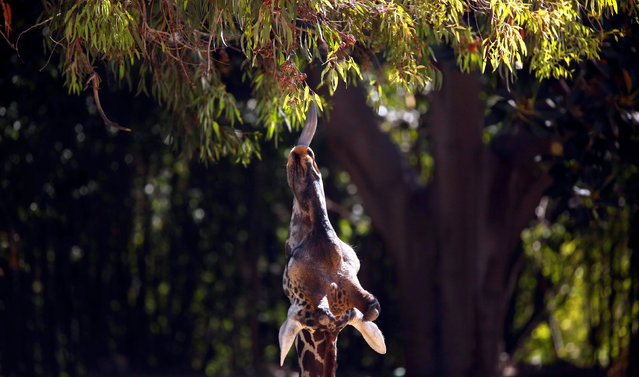 A giraffe tries to reach a branch during a summer day at the Los Angeles Zoo in Los Angeles, California U.S., August 13, 2016. (Photo by Mario Anzuoni/Reuters)