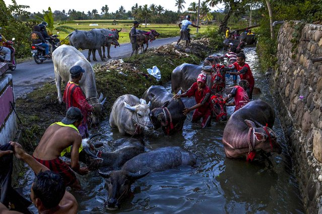 People give their buffalos baths after the race during Barapan Kebo or buffalo races as part of the Moyo festival on September 30, 2014 in Sumbawa Island, West Nusa Tenggara, Indonesia. (Photo by Ulet Ifansasti/Getty Images)