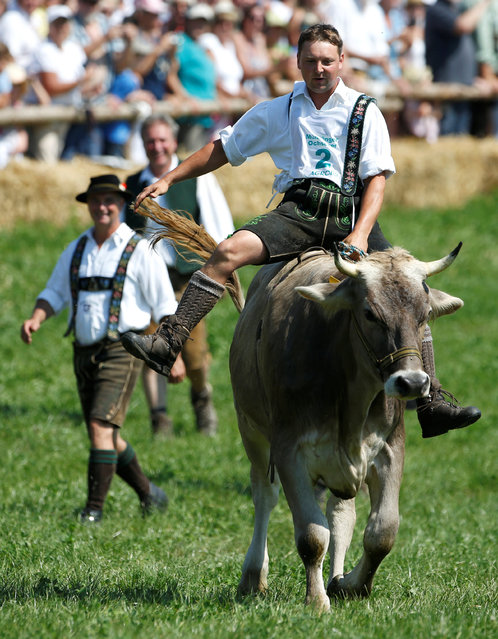 Farmer Anton Leinbach rides on an ox called Calimero during a traditional ox race in the southern Bavarian village of Muensing near Lake Starnberg, Germany August 28, 2016. (Photo by Michaela Rehle/Reuters)