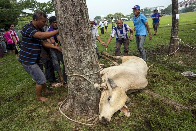 Muslims prepare a cow to be sacrificed during the Eid al-Adha in Kuala Lumpur, Malaysia, September 24, 2015. (Photo by Ahmad Yusni/Reuters)