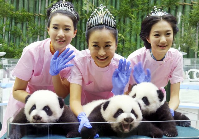 Miss Chinese winners (L-R) He Wenqian, Liu Zhongqing and Yang Xue pose for pictures with Giant Panda triplets at the Chimelong Safari Park in Guangzhou, Guangdong province, October 27, 2014. (Photo by Reuters/Stringer)