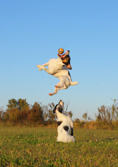 """""""Jumpology"""". """"Towering Terrier"""". (Photo by Emery Way)"""