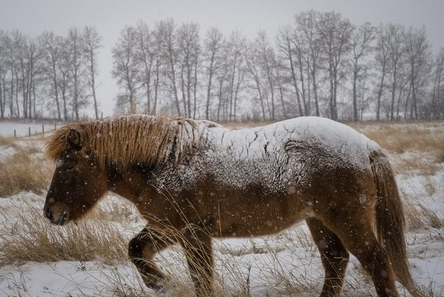 A snow-covered horse grazes a pasture near Cremona, Alta., Sunday, November 9, 2014, during the first heavy snow fall of the season. Heavy snow and plunging temperatures are expected to hit the Upper Midwest section of the United States this week, leaving as much of a foot of snow in its wake and pushing thermometer readings down 20- to 40- degrees overnight, part of a system being pushed in by the remnants of Typhoon Nuri that hit Alaska's Aleutian Islands with hurricane-strength winds over the weekend. (Photo by Jeff McIntosh/AP Photo/The Canadian Press)