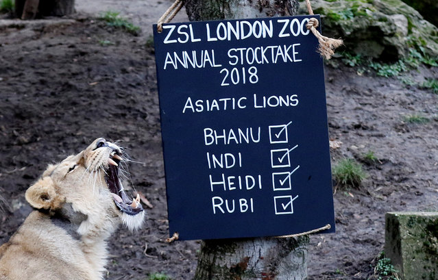 Lions are thrown food during the Annual Stocktake at ZSL London Zoo in London, Britain February 7, 2018. (Photo by Tom Jacobs/Reuters)