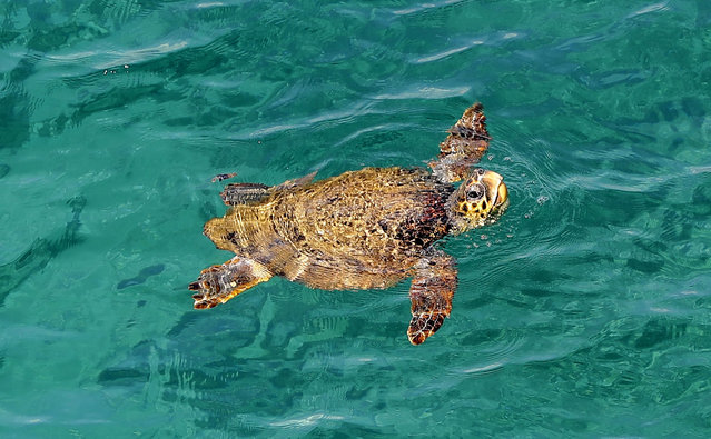 A picture taken on February 24, 2018 shows a sea turtle swimming in the water off the shore of the Lebanese town of Naqoura, south of the capital Beirut, Lebanon. (Photo by Joseph Eid/AFP Photo)