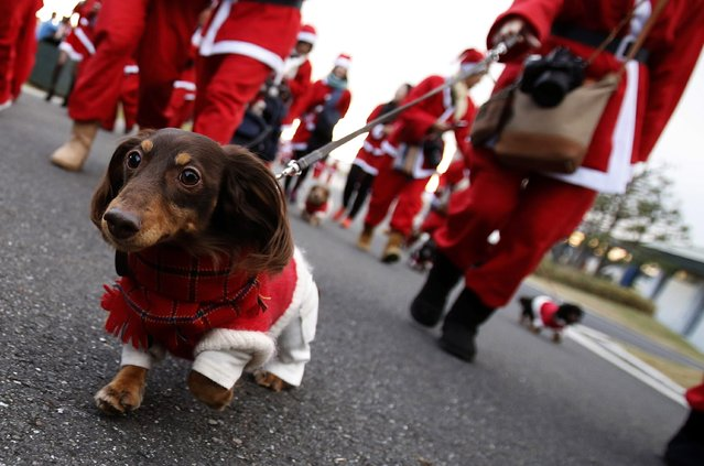 A dog dressed in a costume participate in the Tokyo Santa Run at a park in Tokyo December 6, 2014. (Photo by Yuya Shino/Reuters)