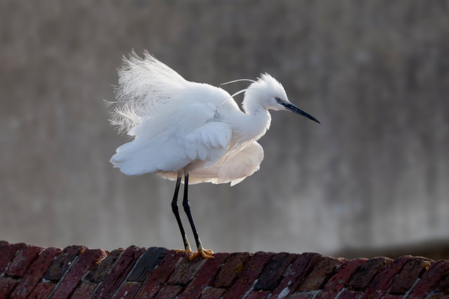 Birds preferring warmer climes, such as the little egret, have increased in numbers in the UK. But many rare breeding birds are at risk of extinction due to the climate becoming less suitable, according to a new report. (Photo by Paul Chesterfield/RSPB)