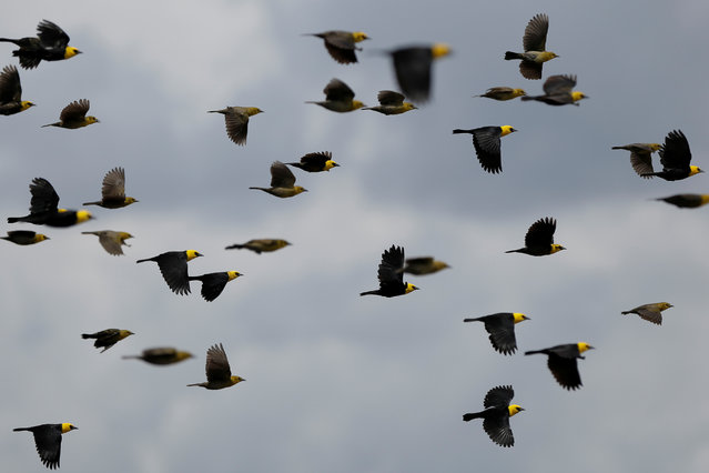 Yellow-hooded blackbirds fly over the Mamiraua Sustainable Development Reserve in Uarini, Amazonas state, Brazil, February 25, 2018. (Photo by Bruno Kelly/Reuters)
