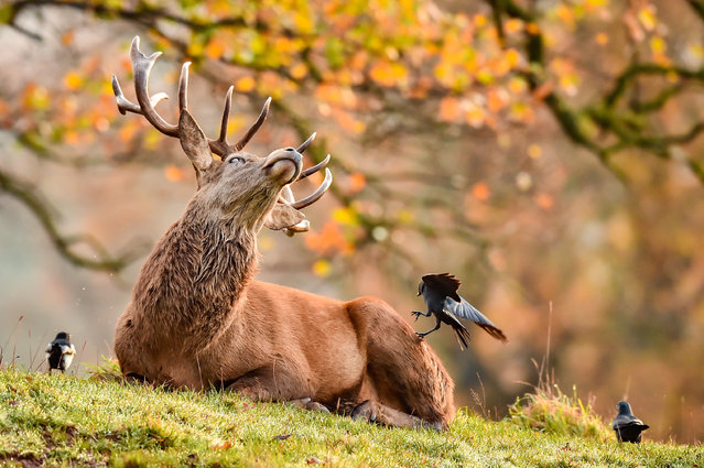 A stag reacts as magpies and crows fuss over a resting stag as they feed on ticks from the fur of the deer herd roaming on the Ashton Court Estate, Bristol, in crisp and cold Autumnal weather on November 23, 2020. (Photo by Ben Birchall/PA Images via Getty Images)