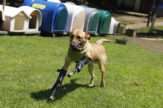 A dog named Pay de Limon (Lemon Pay) runs fitted with two front prosthetic legs at Milagros Caninos rescue shelter in Mexico City August 29, 2012. Members of a drug gang in the Mexican state of Zacatecas chopped off Limon's paws to practise cutting fingers off kidnapped people, according to Milagros Caninos founder Patricia Ruiz. Fresnillo residents found Limon in a dumpster bleeding and legless. After administering first aid procedures, they managed to take him to Milagros Caninos, an association that rehabilitates dogs that have suffered extreme abuse. The prosthetic limbs were made at OrthoPets in Denver, U.S., after the shelter was able to raise over $6,000. (Photo by Tomas Bravo/Reuters)